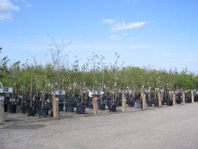Gertens Garden Center, Inver Grove Heights - trees