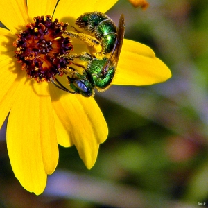 Metallic_Green_Bee_(Augochloropsis_sp.)_on_Coreopsis_(7173773106)