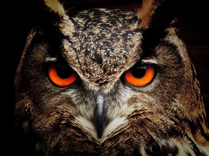 Owl (Public Domain)